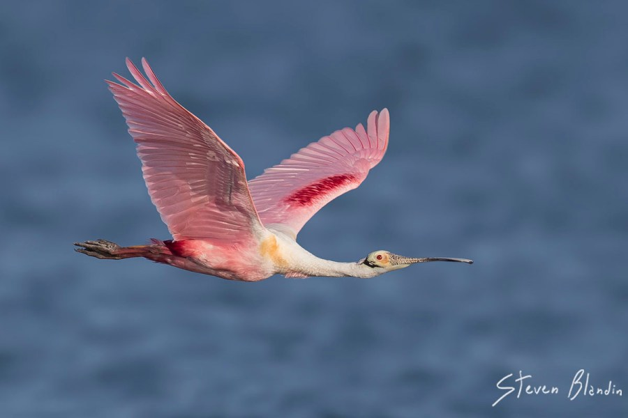 Spoonbill in flight - Photography Tour