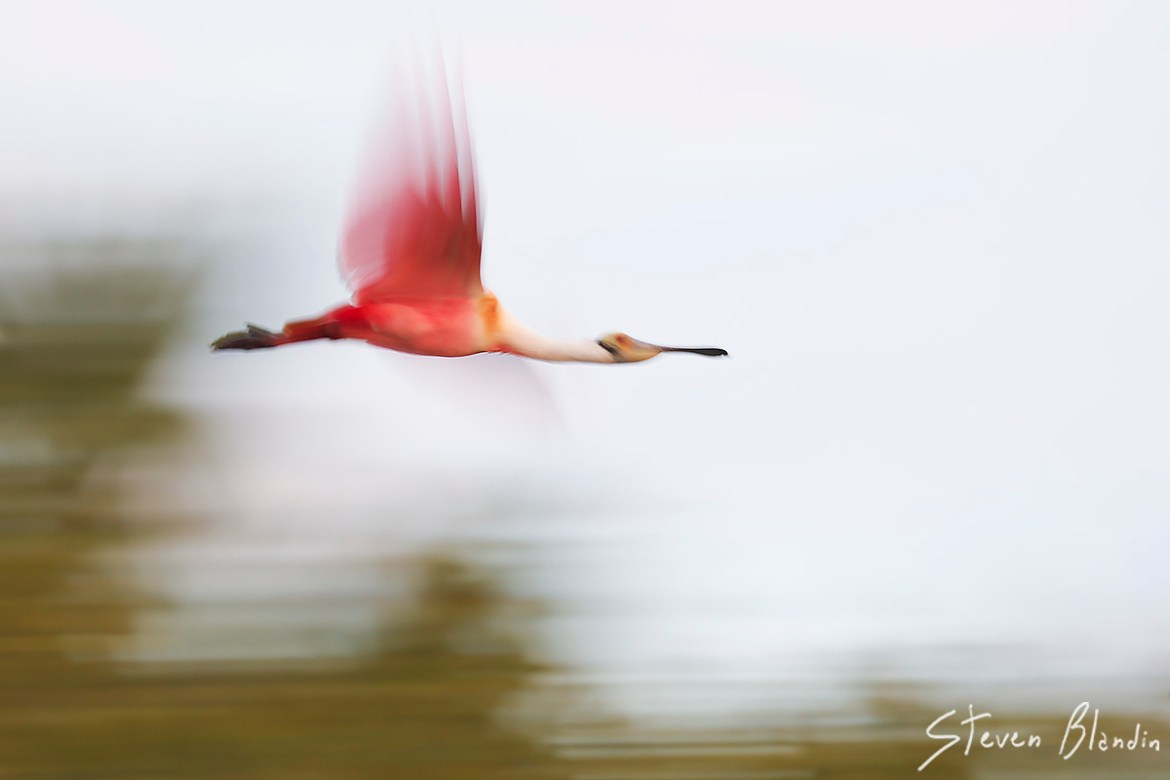 Spoonbill motion blur - bird photography workshop