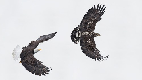 Alaska Bald Eagle Photography Tour_01