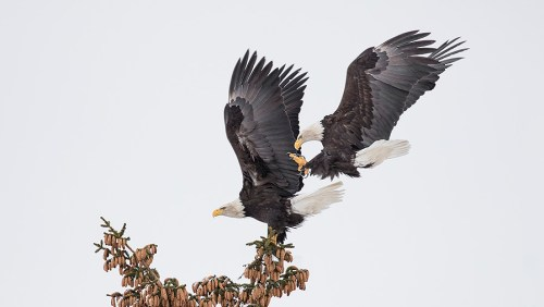 Alaska Bald Eagle Photography Tour_05