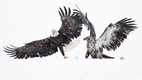 Alaska Bald Eagle Photography Tour_06