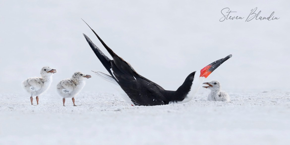 Black Skimmers Family