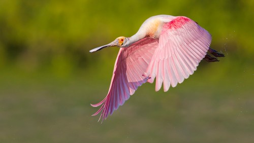 Spoonbill Photography Tour