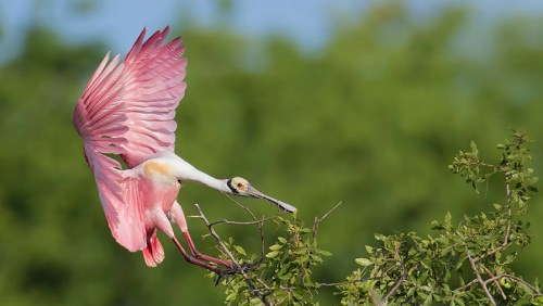 Florida Spoonbill Tour_12