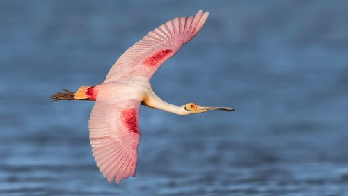 Florida Spoonbill Photography Workshop