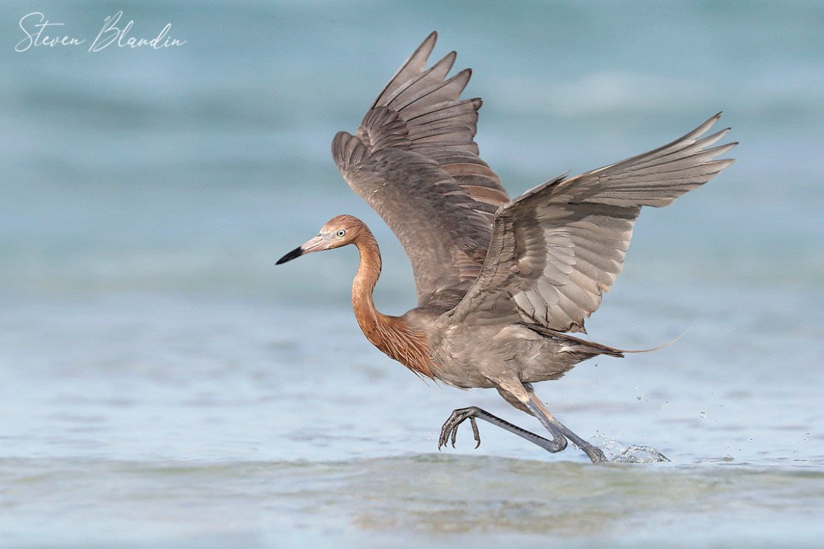 Reddish Egret Running - Sarasota Bay