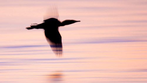 Double crested Cormorant blur