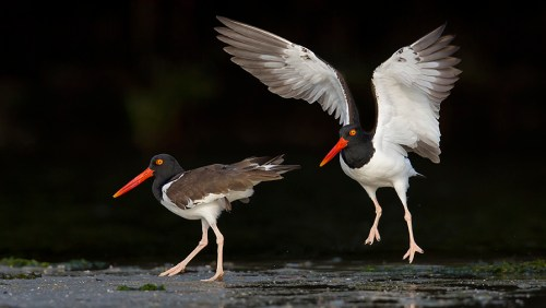 Spoonbill Tour_Oystercatchers