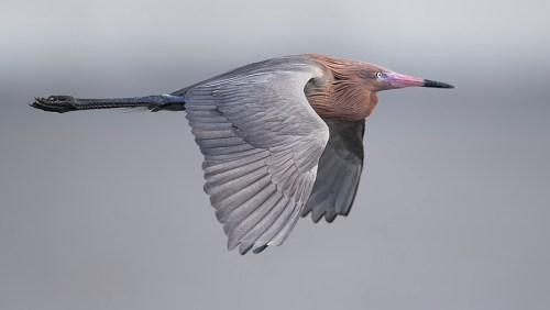 Spoonbill Tour_Reddish Egret