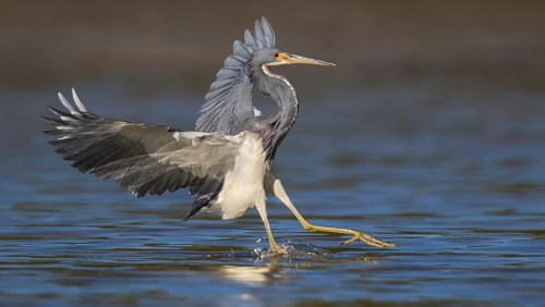 Spoonbill Tour_Tricolored Heron