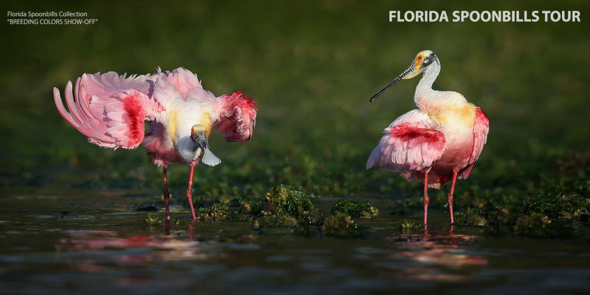 Florida Spoonbill Photography Tour - 2020