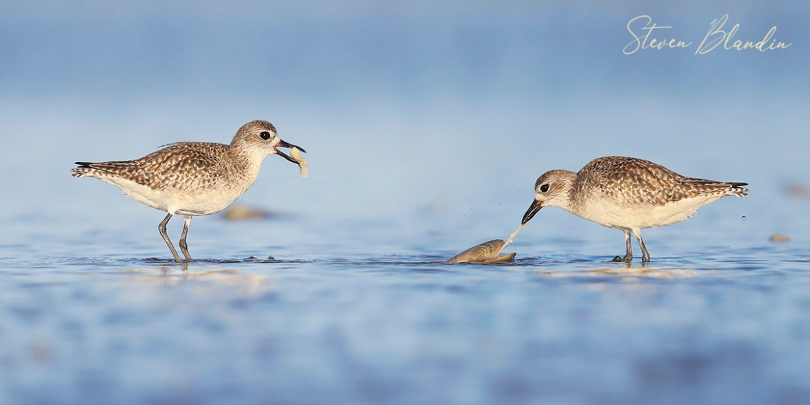 Black Bellied Plovers - Fort Desoto Bird Photography