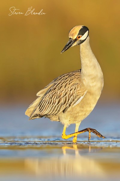 Yellow-crowned Night Heron - Fort Desoto Bird Photography
