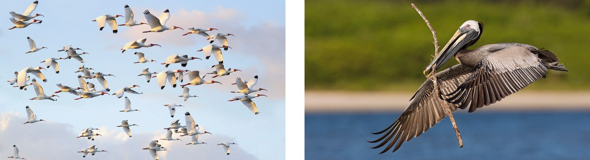 White Ibises And Brown Pelican