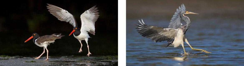 Oystercatchers - Photography Workshop