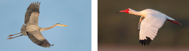Great Blue Heron - Photography Tour