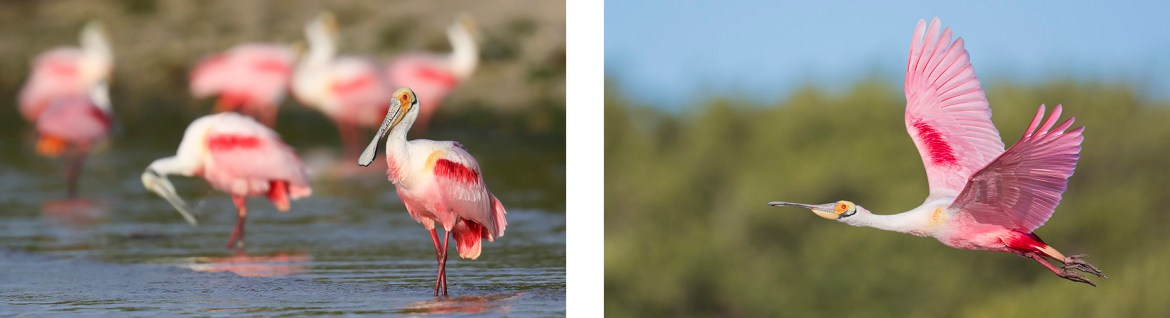 Spoonbills Photo Tour