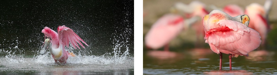 Roseate Spoonbills Photography Tour