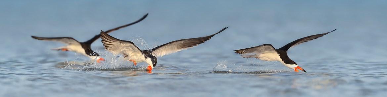 19_Black Skimmer Nesting Colony_Florida Bird Photography Tour