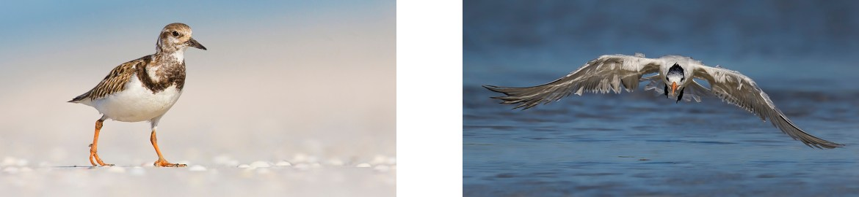 Rudy Turnstone - Royal Tern