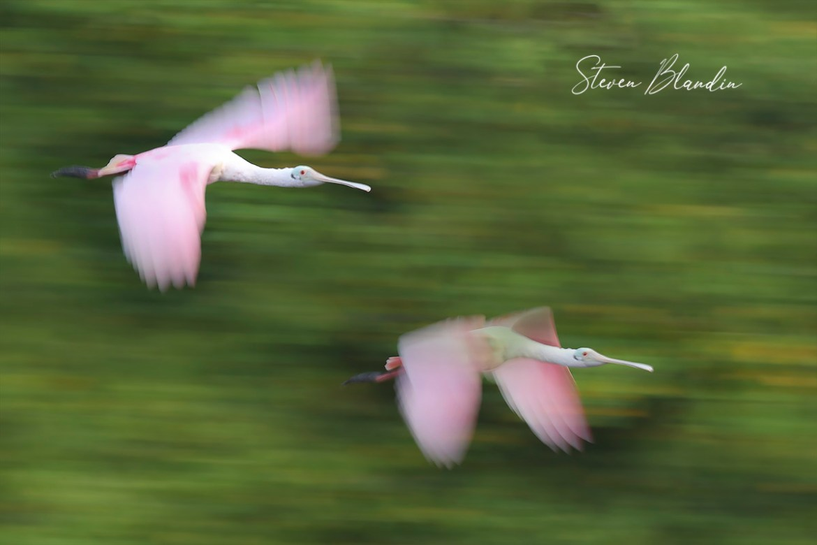 Spoonbills blur - Photo Tour