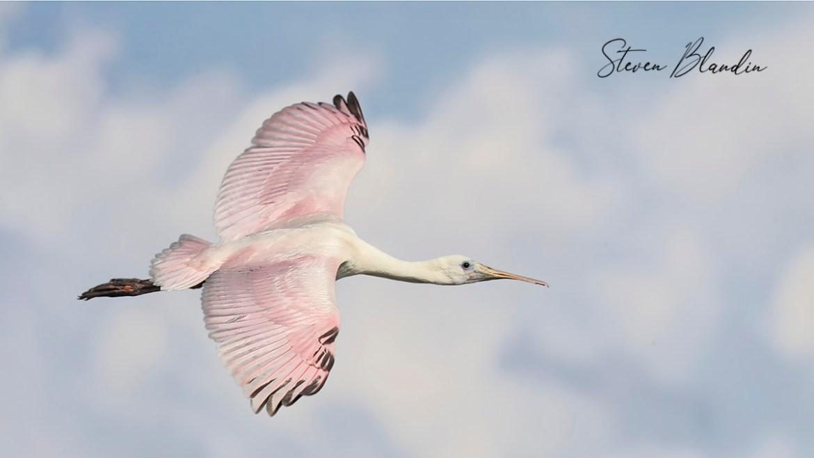 Young Spoonbill in flight - Florida Tour