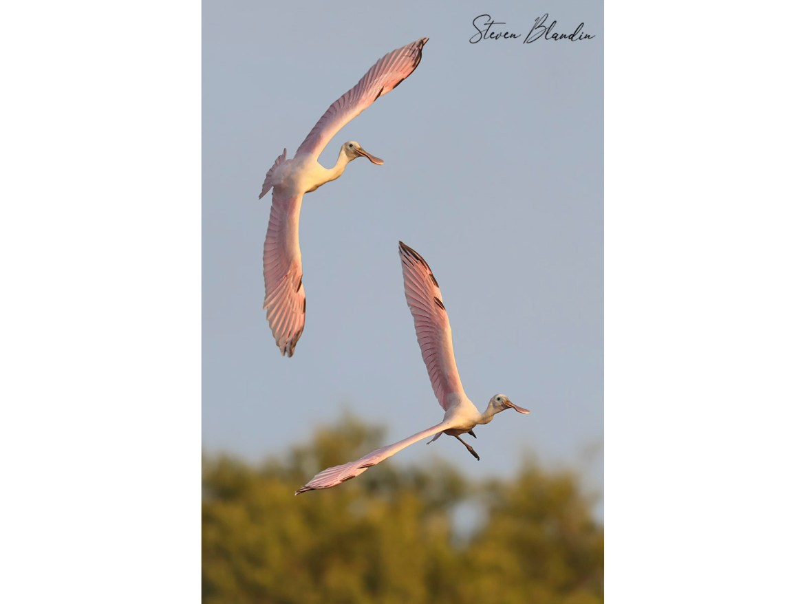 Young Spoonbills playing in flight - Photography Tour