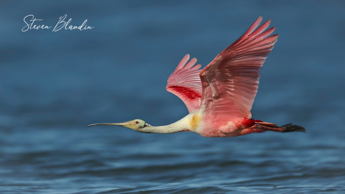 Adult Spoonbill in flight - Florida Tour