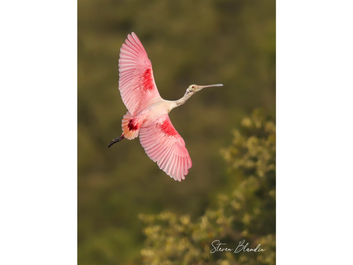 Spoonbill banking in flight
