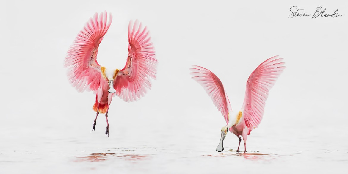 Roseate Spoonbills - Florida Photography Tour