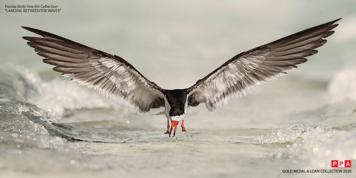 Black Skimmer Tour - Landing Between The Waves