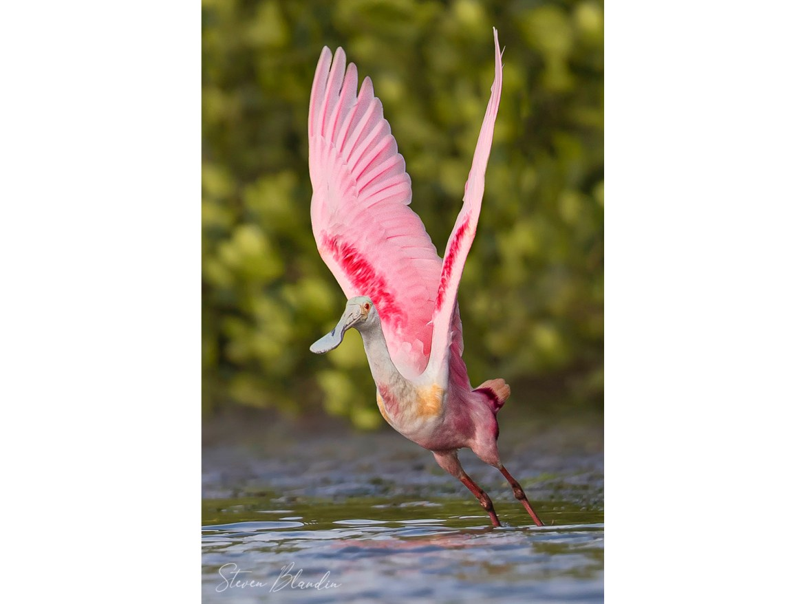 Roseate Spoonbill taking off - Tampa Bay