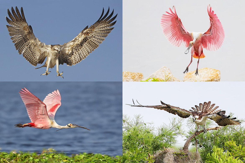 Florida Osprey-Spoonbill Photography Tour - 2022