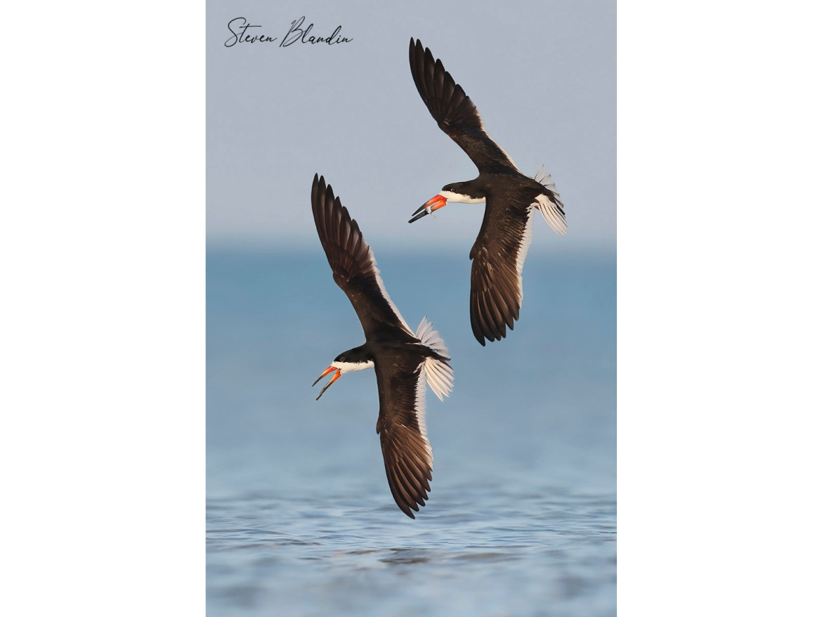 Black Skimmers banking over the ocean