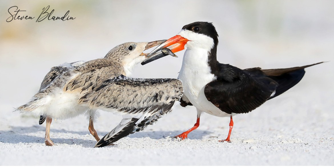 Black Skimmers - Photography Tour