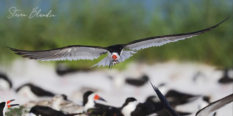 Black Skimmer flying over the colony