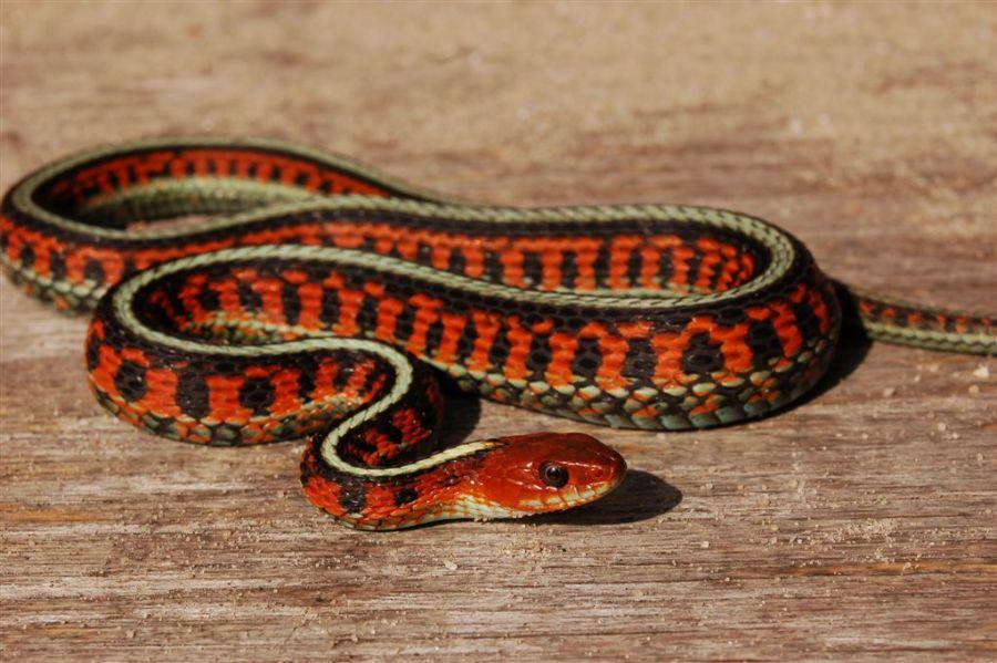 Thamnophis sirtalis infernalis, Marin County, California, USA