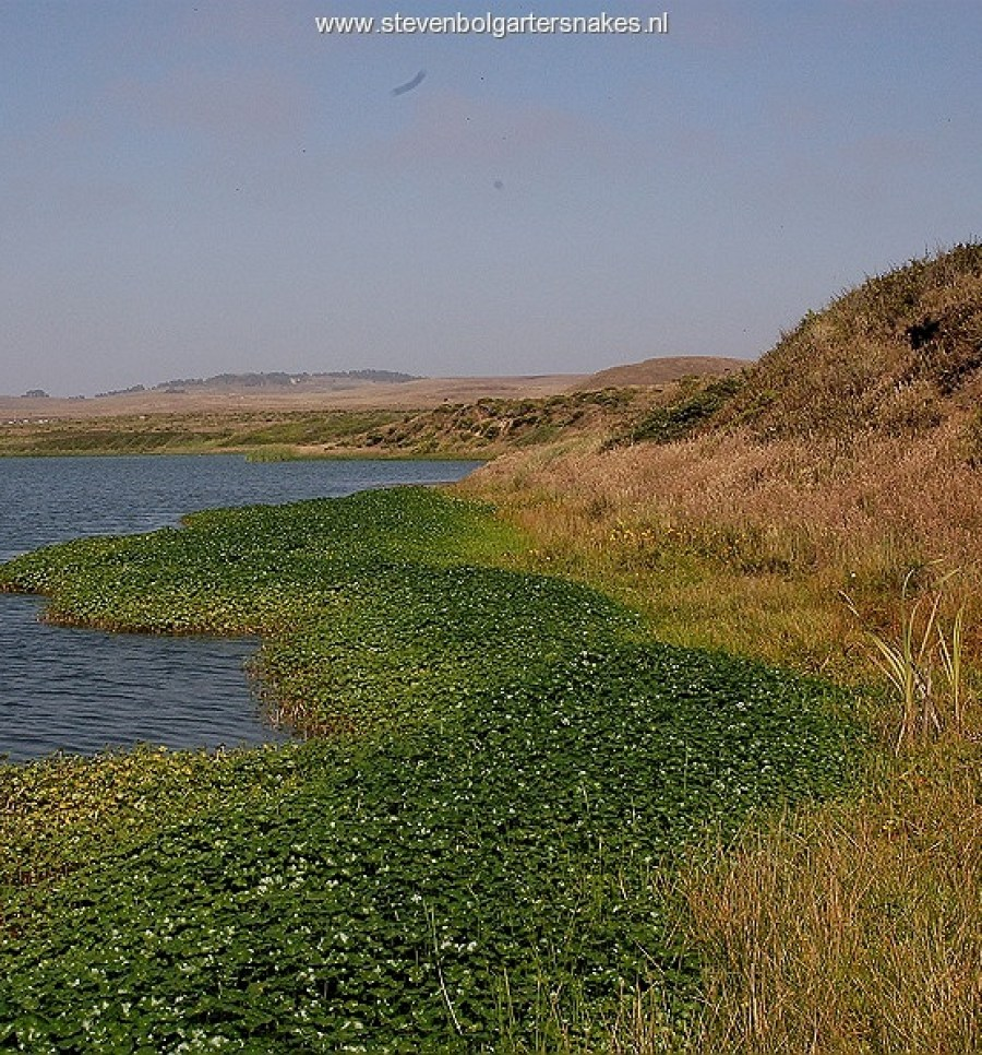 Lagoon in Marin County, California. Biotope of T.a.atratus x hydrophilus and T.elegans terrestris.