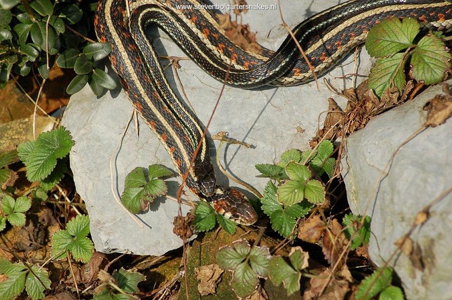 March 25th 2010 - 11.59 AM: mating behaviour pickeringii couple.