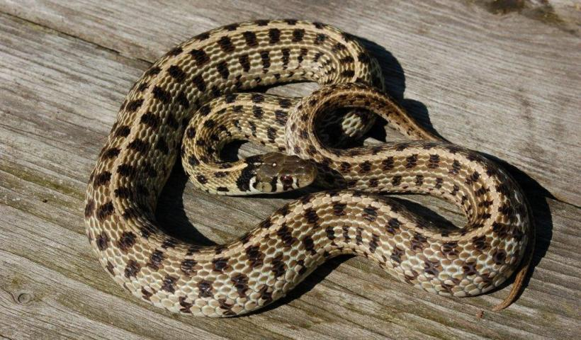 Thamnophis m.marcianus captive bred female (adult)