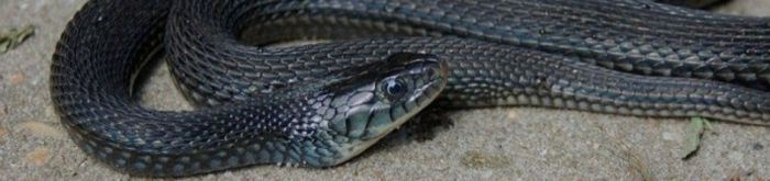 Thamnophis eques cuitzeoensis- Lake Cuitzeo Garter Snake