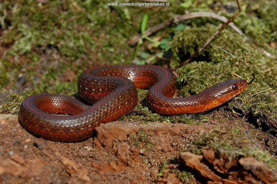 Thamnophis melanogaster canescens, juvenile from lake Cuitzeo, Michoacan, Mexico.