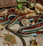 Thamnophis Sirtalis Infernalis, captive bred female (90 cm) from Sonoma County.