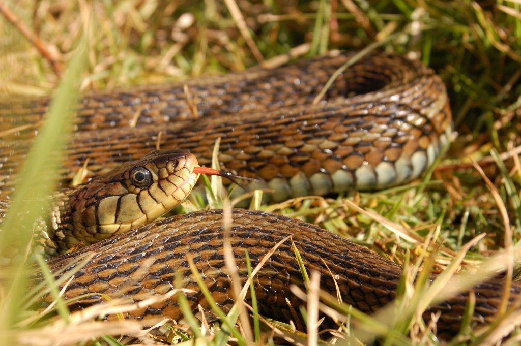 Thamnophis eques insperatus, female (dark morph), 95 cm total length, photographed in the wild on November 2008.