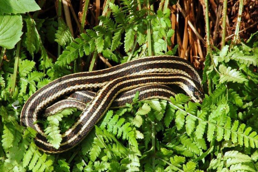 T.s.pickeringii x T.ordinoides (hybrid) female basking on the ferns.