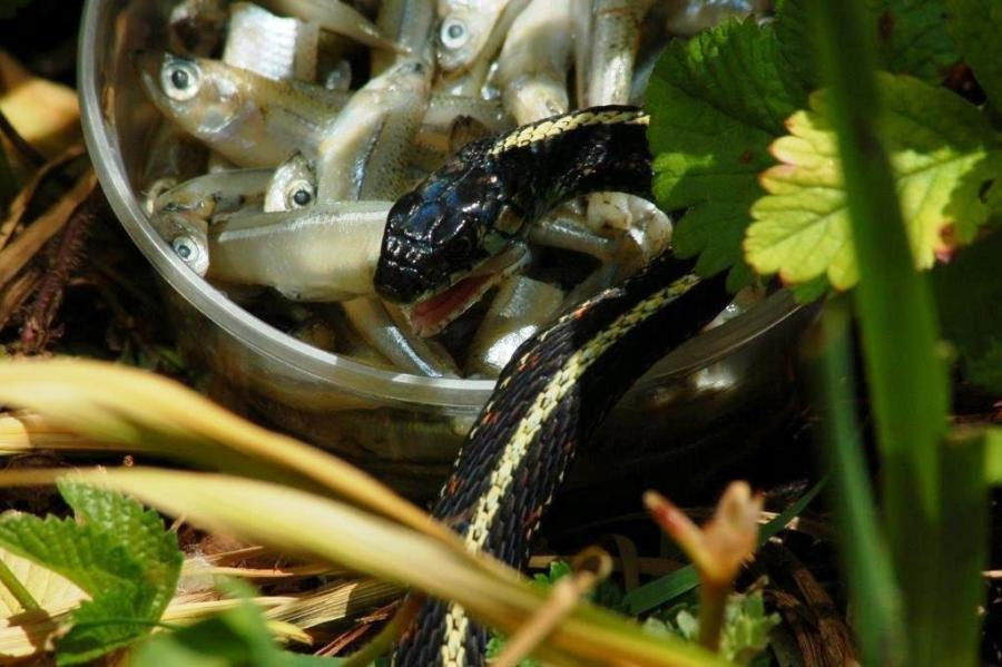 T.s.pickeringii feeding