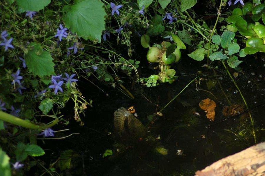 Large uniform N.s.insularum had left her first shedding behind in the pond July 25th.