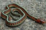 Thamnophis sirtalis infernalis