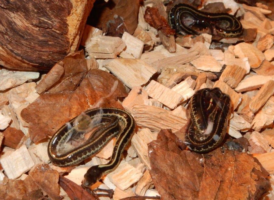 First babies of 2018; the Puget Sound Garter Snake (3)