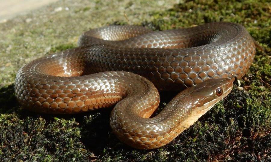 T.melanogaster canescens